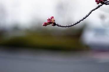 Sakura100331_1