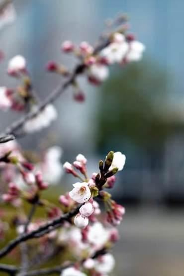 Sakura100331_2