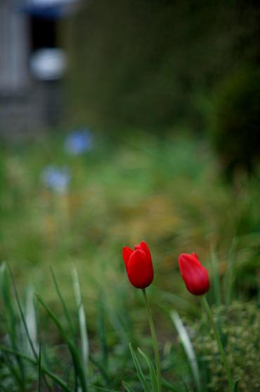 Tulip12042155mmf12_1