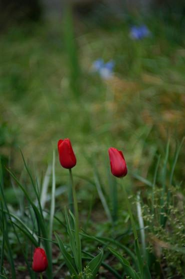 Tulip12042185cmf2_1